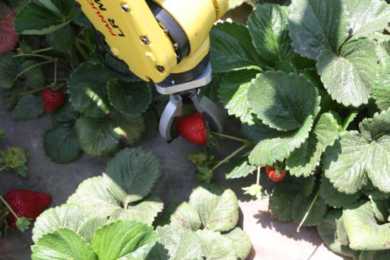 robotics harvesting robot fanuc crop strawberry